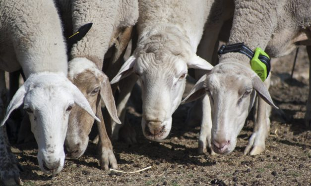 Ovejas  y cabras con GPS: la Trashumancia BIG DATA