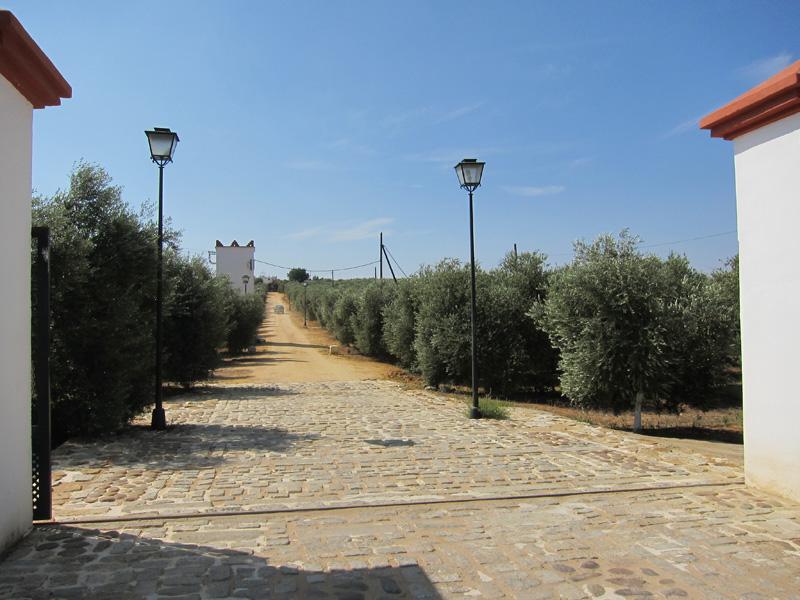 El aceite: hablándole al olivo