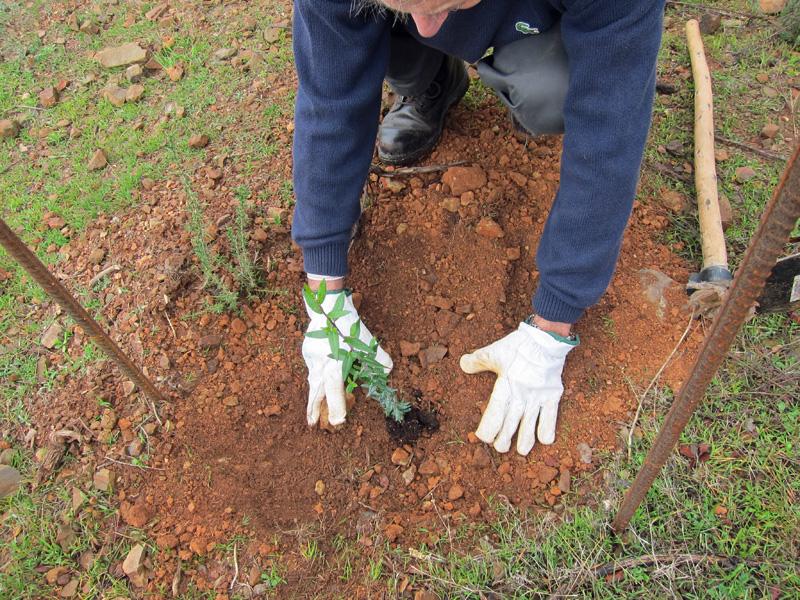 Plantando arbolitos en la dehesa