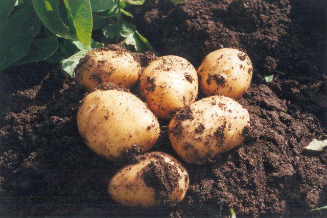 Llega la patata nueva andaluza